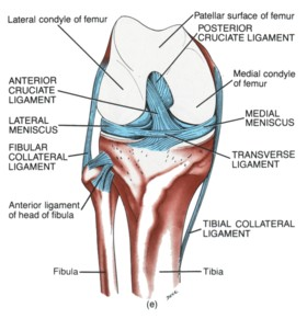 Medial Collateral Ligament picture used from
