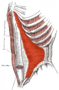 The transversus abdominis